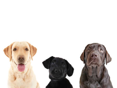 Cute Labrador Retriever dogs on white background Stock Photo