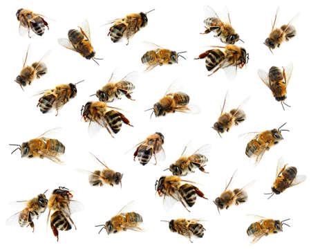 흰색 배경에 꿀 꿀벌
