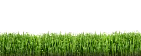Wheat grass on white background Stock Photo