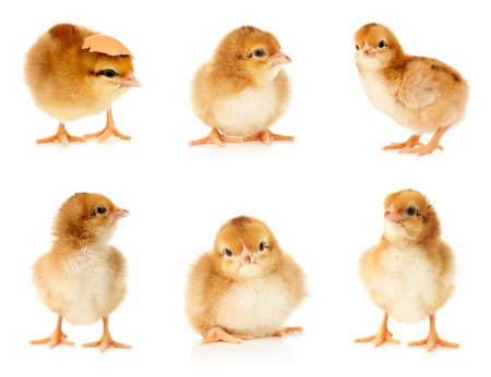 Collage with cute little chickens on white background