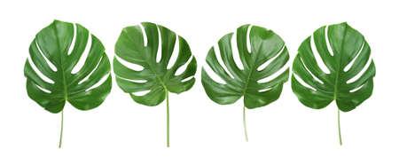 Hojas verdes tropicales sobre fondo blanco
