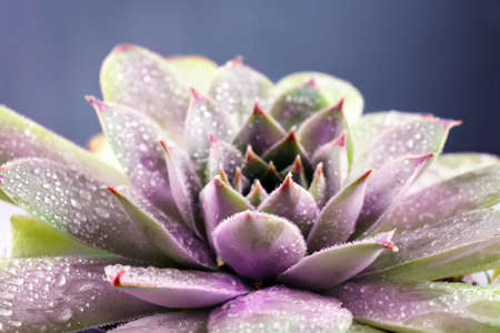 Beautiful succulent with water drops, closeup Stock Photo