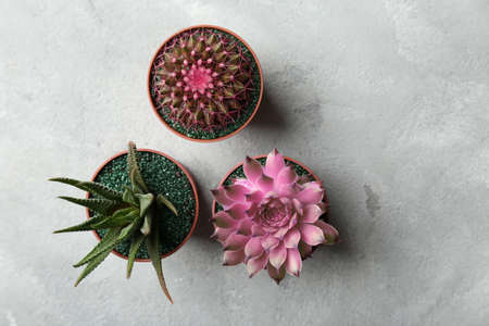 Beautiful succulents in pots on gray background Stock fotó