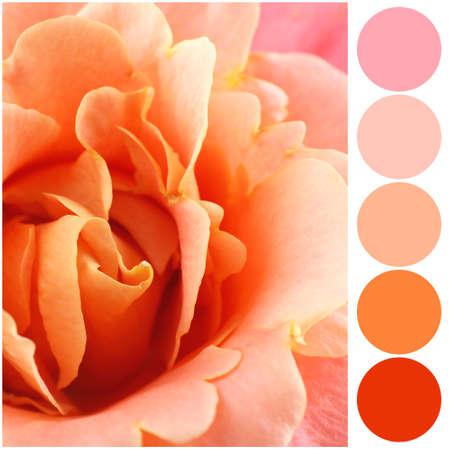 アプリコットの色一致パレット。美しい花、クローズアップ