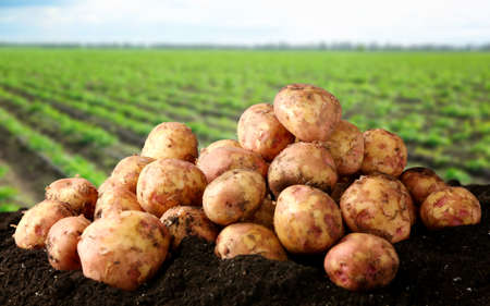 Fresh potatoes on ground and field with plants on background Stock Photo