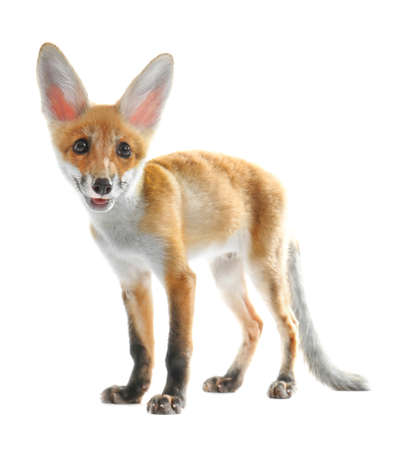 Cute fox cub on white background