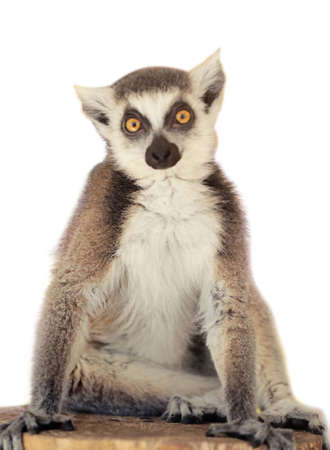 Cute ring tailed lemur on white background