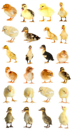 Collage of ducklings and chicks on white background