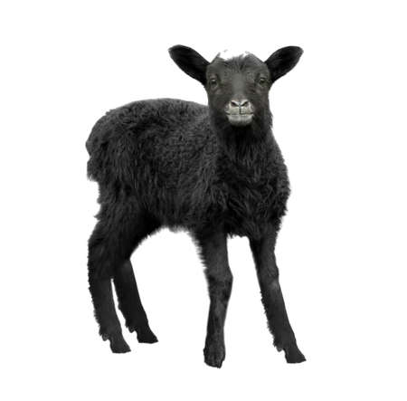 Cute funny lamb on white background
