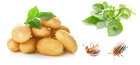 Collage of raw potatoes and bugs on white background