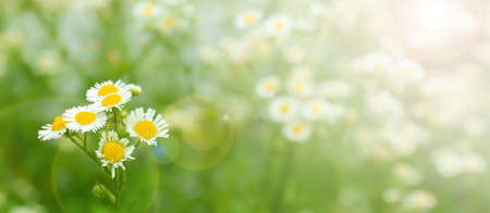 Beautiful chamomile flowers in field on sunny day, closeup Imagens