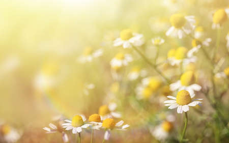 Beautiful chamomile flowers in field on sunny day, closeup 写真素材