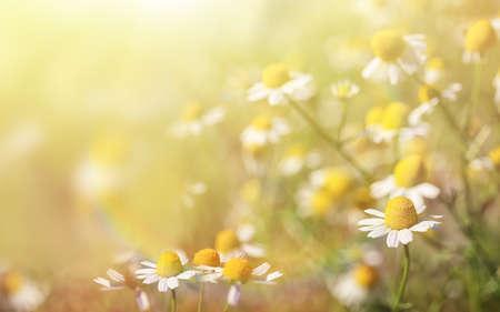 Beautiful chamomile flowers in field on sunny day, closeup 免版税图像