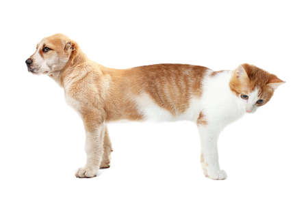 Cat conjoined with dog on white background Stock Photo