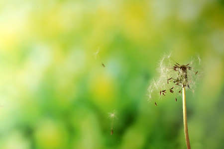 Blown dandelion on green blurred background Stock Photo