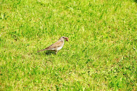 Bird with worm in beak over green grass background