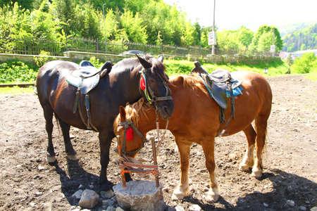 Pair of beautiful horses, outdoors