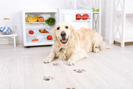 Labrador near fridge and muddy paw prints on wooden floor in kitchen Stock Photo - 92726841