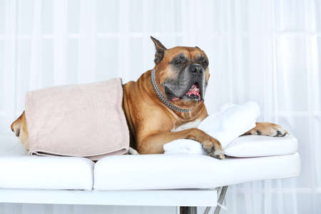 Dog relaxing on massage table, on light background Stock Photo