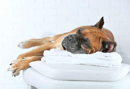 軽い背景にマッサージテーブルでリラックス犬