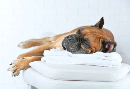 Dog relaxing on massage table, on light background Foto de archivo