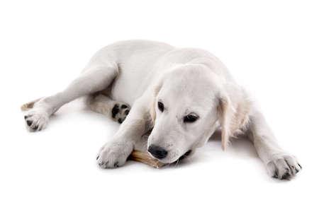 Labrador dog chewing bone isolated on white Фото со стока