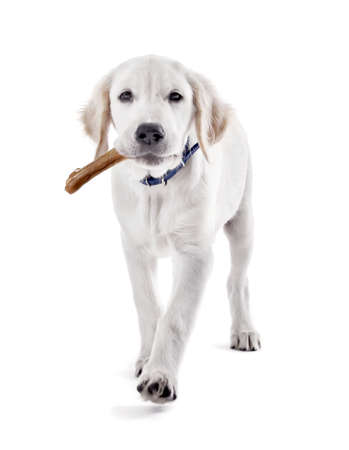 Labrador dog chewing bone isolated on white Imagens