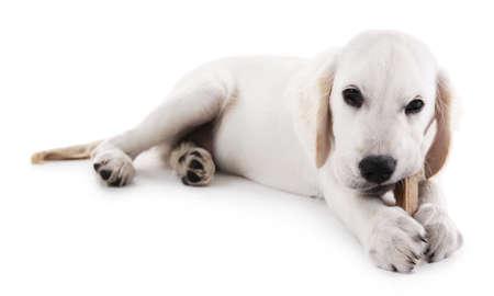 Labrador het kauwen been op wit wordt geïsoleerd dat Stockfoto