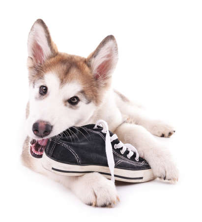 Cute Malamute puppy chewing gumshoes isolated on white Archivio Fotografico