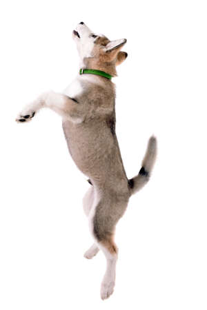 Malamute puppy jumping isolated on white Foto de archivo