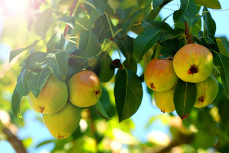Branch of pear tree close up Stock Photo