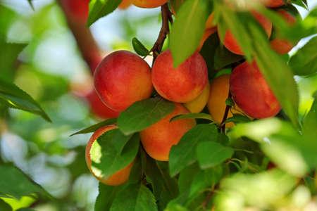 Branch of plum tree closeup
