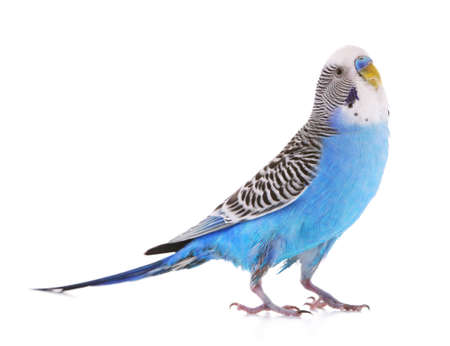 Budgerigar isolated on white