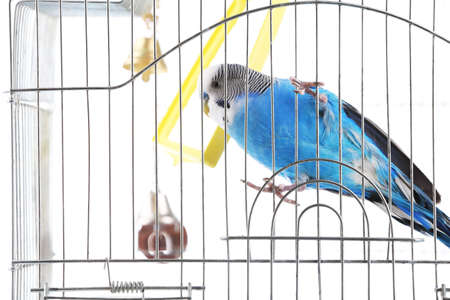 Budgerigar in cage on white background