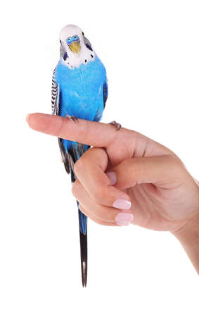 Budgerigar on hand isolated on white