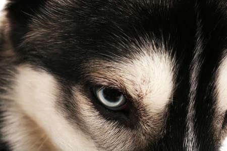 Bella fine del cane dei husky su Archivio Fotografico - 93724253
