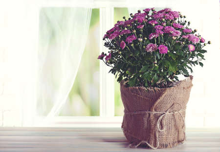 Beautiful purple chrysanthemum flowers on windowsill background