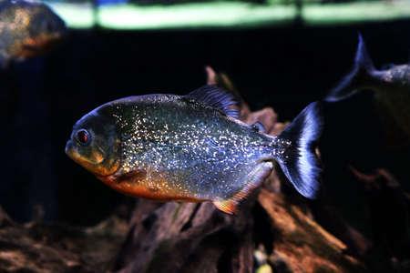 Underwater world - piranha in an aquarium Stock Photo