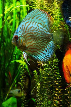 Underwater world - exotic fish in an aquarium Stock Photo
