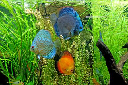 Underwater world - exotic fishes in an aquarium