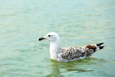 Beautiful seagulls on water