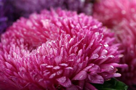 Pretty purple blossom chrysanthemum, macro