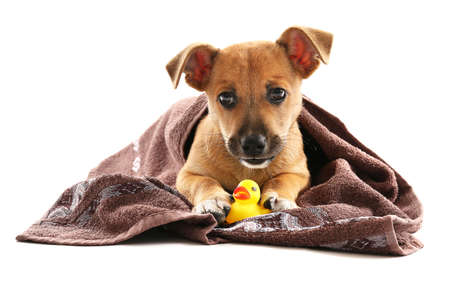 Puppy with towel and toy duck isolated on white Stock Photo