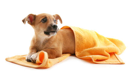 Puppy with towel isolated on white