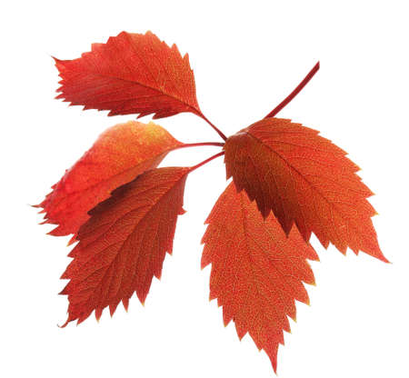Beautiful red and brown leaves isolated on white