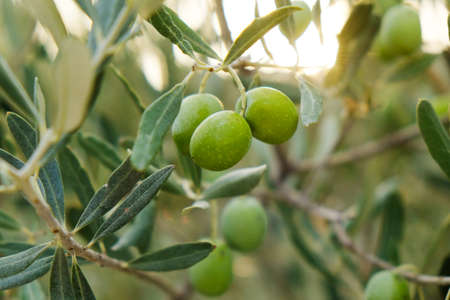 Green olive bush background