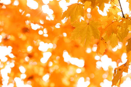 Golden autumn leaves, close up Stock Photo
