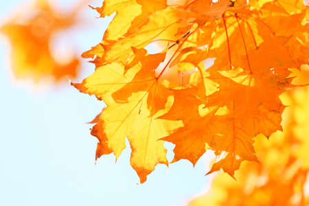Golden autumn leaves on blue sky background, close up