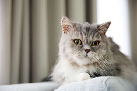 Grey cat lying on sofa in the room Stock Photo