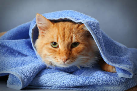 Portrait of fluffy red cat in blue towel, close up